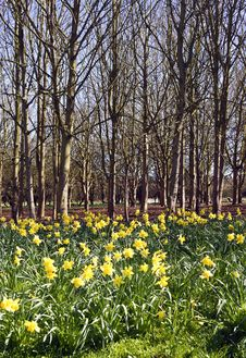 Free Daffodil Woods Royalty Free Stock Images - 24025279