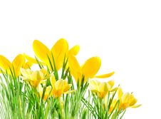 Free Yellow Crocuses In The Grass Royalty Free Stock Image - 24026206