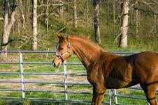 Free Arabian/Saddlebred Mix Horse Stock Images - 24032964
