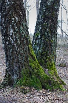 Free Green Moss On The Trunks Of Birch Tree Stock Image - 24039011