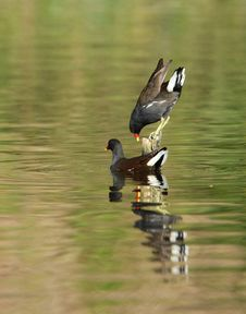 Free Moorhen. Royalty Free Stock Photography - 24041267