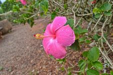 Free Pink Hibiscus Royalty Free Stock Photography - 24048567