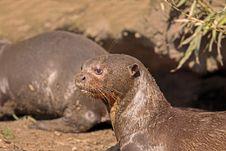 Free Giant Otter Stock Image - 24049881