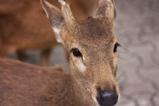 Free A Little Fawn Stock Photos - 24053003