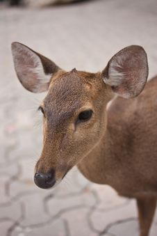 Free A Little Fawn Stock Photos - 24053063