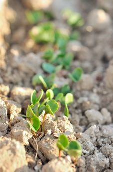 Free Seedlings Royalty Free Stock Photo - 24056095