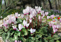 Free White And Pink Cyclamens Royalty Free Stock Photography - 24061877