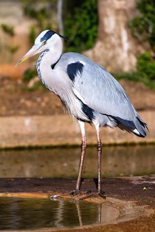 Free Gray Heron Stock Photography - 24061332