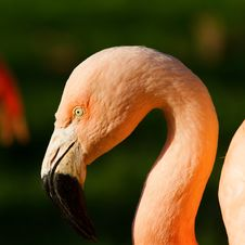 Free Flamingo Stock Image - 24061431