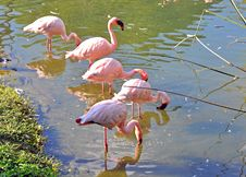 Free Flamingos In The Water Stock Image - 24065611