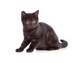 Free Little Kitten Black British On White Royalty Free Stock Photography - 24074997