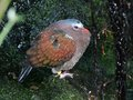 Free Dew Covered Pigeon Royalty Free Stock Photos - 24078228