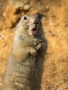 Free Black-tailed Prairie Dog Royalty Free Stock Photography - 24078837