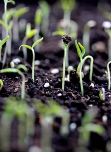 Free Germinated Seeds Royalty Free Stock Image - 24072666