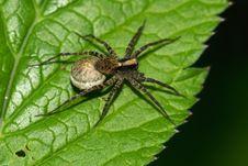Free Pardosa Lugubris Stock Image - 24073691