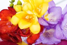 Free Blooming Freesia Royalty Free Stock Photo - 24074925
