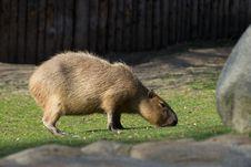 Free Eating Kapybara Royalty Free Stock Image - 24078656