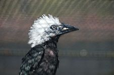 Free White-crested Hornbill Royalty Free Stock Photo - 24078895