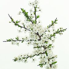 Free When Apple Trees Bloom Royalty Free Stock Photography - 24079427