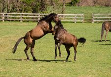 Free Horses At Play Royalty Free Stock Photos - 24081858