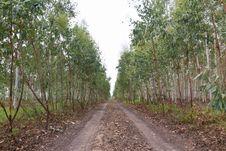 Free Eucalyptus Plantation Royalty Free Stock Images - 24084199