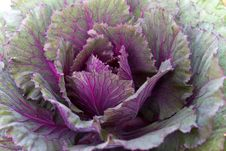 Free Fresh Violet Cabbage Stock Image - 24084341
