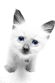Kitten With Blue Eyes Royalty Free Stock Image