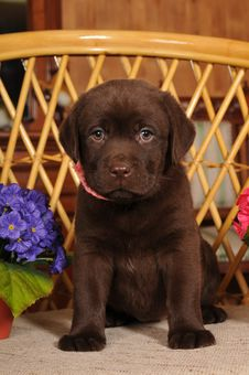 Free Labrador Puppy Portrait Royalty Free Stock Photography - 24089497