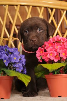 Free Portrait Of Labrador Puppy Stock Image - 24089521