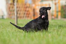 Free Standard Schnauzer Puppy Stock Photo - 24089700