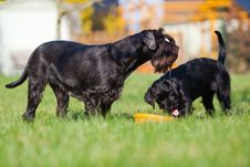 Standard Schnauzer Mother And Child Royalty Free Stock Photography