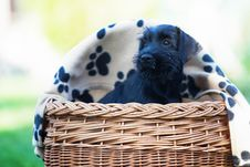Free Cute Puppy Sitting In A Basket Stock Image - 24090371