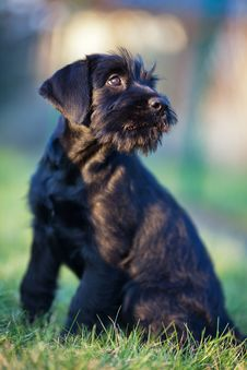 Free Puppy Looks Up Royalty Free Stock Image - 24091046