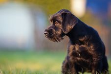 Free Cute Standard Schnauzer Puppy Stock Photos - 24091143