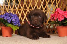 Little Labrador Puppy Portrait Royalty Free Stock Photos