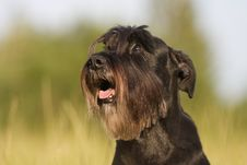 Free Dog Portrait Of A Standard Schnauzer Stock Photo - 24092880