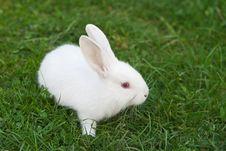 Free Little White Rabbit Royalty Free Stock Photo - 24093035