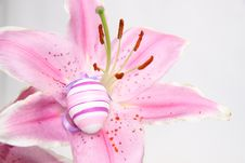 Free Easter Lilly Royalty Free Stock Photo - 24094765