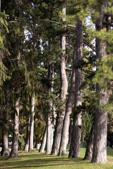 Free Pine Trees Royalty Free Stock Images - 24095469