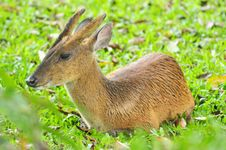 Free Barking Deer In Khao Yai National Park Stock Image - 24097441