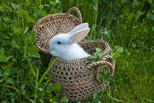 Free White Rabbit Royalty Free Stock Images - 24098659