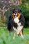 Free Australian Shepherd Portrait Royalty Free Stock Photography - 24091207