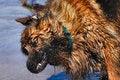 Free Wet Dog Shaking Stock Photo - 2412630