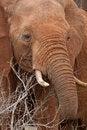 Free African Elephant Feeding Stock Image - 2413111