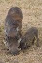 Free Warthogs Royalty Free Stock Image - 2413346