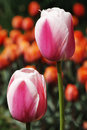 Free Two Red Tulips Royalty Free Stock Photo - 2416845