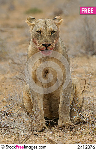 Hungry Lion with Blood