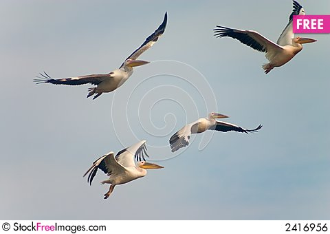 Free Flying Pelican Royalty Free Stock Image - 2416956