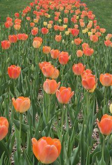Free Tulip Path Stock Photo - 2410070