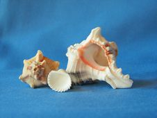 Free Cockle Shells On Blue Royalty Free Stock Photo - 2410295